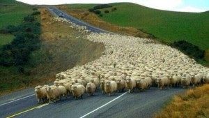 Sheeple for Hillary